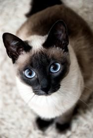 Siamese Cat:
