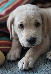 yellow-labrador-retriever-dog