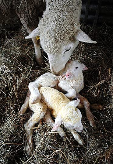 twin baby lambs:
