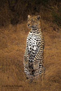 21.-upright-leopard-keith-connelly