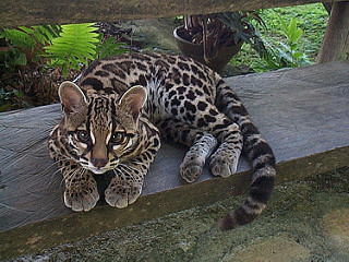 Margays