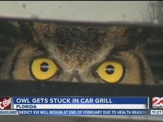 photo Owl_gets_stuck_in_car_grill_309350000_371771_ver1.0_320_240_zpsi08zt1ok.jpg