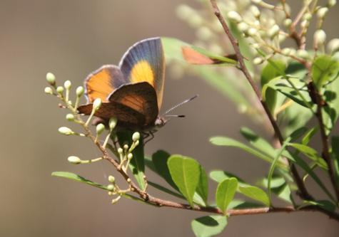 photo imago eltham copper butterfly_zpsrhh3afs0.jpg