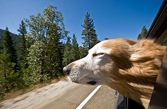 golden retriever with head out the window: