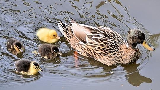 Duck family near Arnhem, The Netherlands