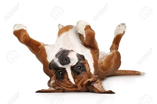 boxer dog laying on his back: