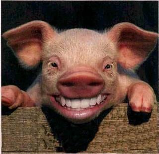 smiling-pig-17250190708