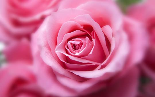 photo pink_color_rose-wide.jpg