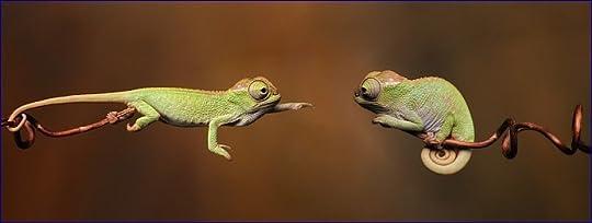 Chameleons mating game