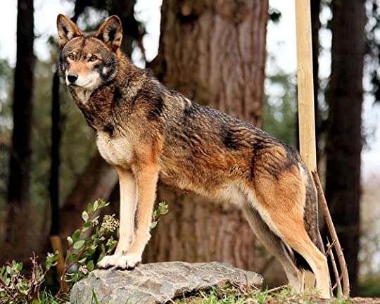 The beautiful red wolf