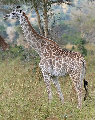 800px-Giraffe_Mikumi_National_Park
