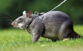 photo 1 gambian pouched rat gpa_zpsaood5war.jpg