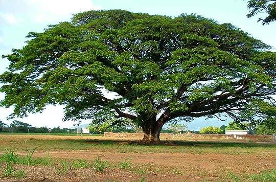 Harga Bibit Pohon Trembesi Besar Terbaru
