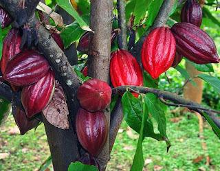 Harga Bibit Pohon Kakao Bersertifikat