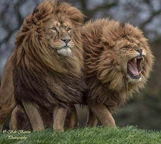 two huge lions