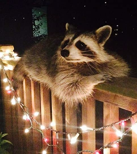 Image result for raccoon adulting