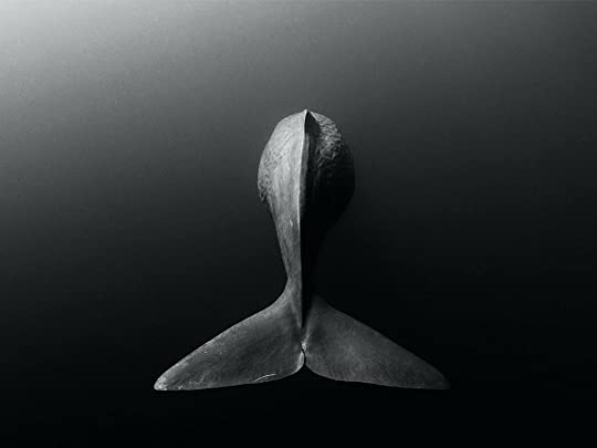 black and white whale underwater picture of a sperm whales tail by gross via flag offline