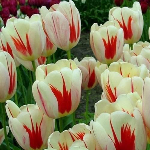photo tulip-burning-heart_zpsomxo2vuq.jpg