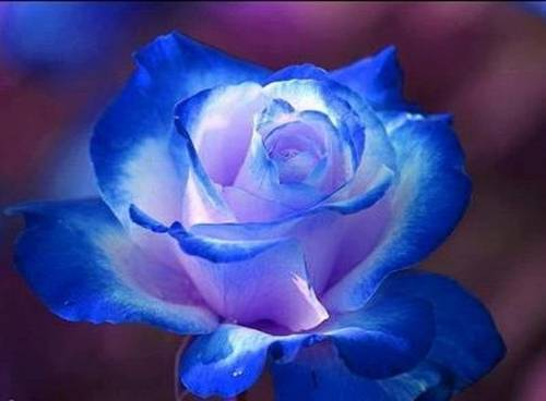 photo Blue20Roses_zpsyeap70si.jpg