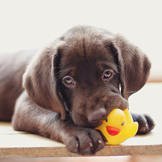 Image result for lab puppies
