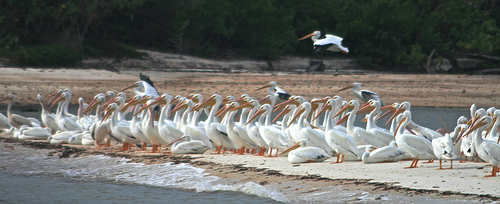 Pelicans xxx