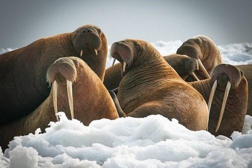 photo Walruses_zpsjbggjkdc.jpg