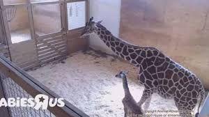 giraffe cam