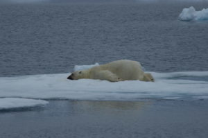 Polar bear, Svalbard, Norway. Photo: Carl Safina