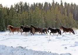 wild mustangs in the snow