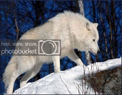 Wolf photo wolf-17.jpg