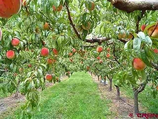peach orchard - Google Search