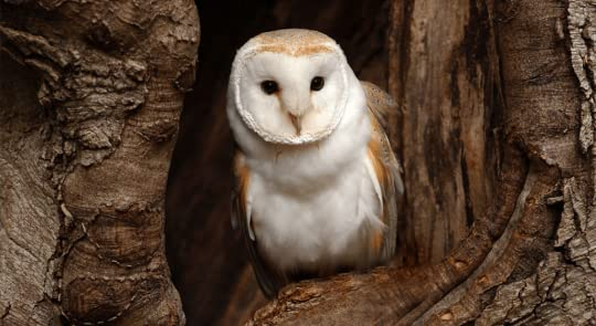 Image result for owl in barn