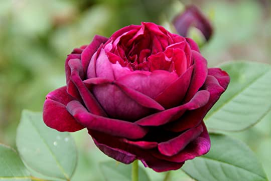 Image result for september rose