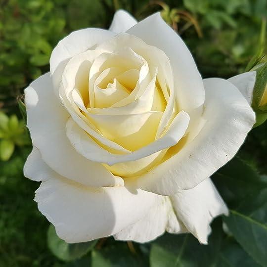 Image result for white rose