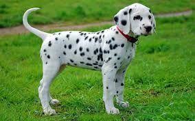 dalmation puppy - Google Search