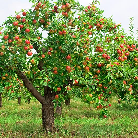 How to Plant, Grow, Prune, and Harvest Apples