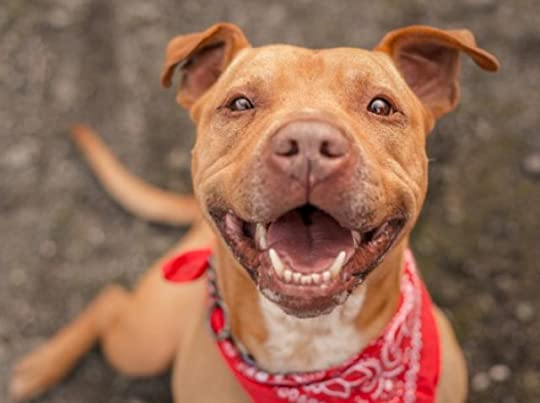 American Pit Bull Terrier Dog Breed Hypoallergenic, Health and Life Span | PetMD