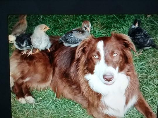 Australian shepherd dog guards baby chicks