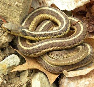 Garter Snake Care Guide B. Russell