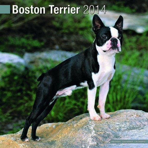 Boston Terrier 2014 Wall Calendar NOT A BOOK