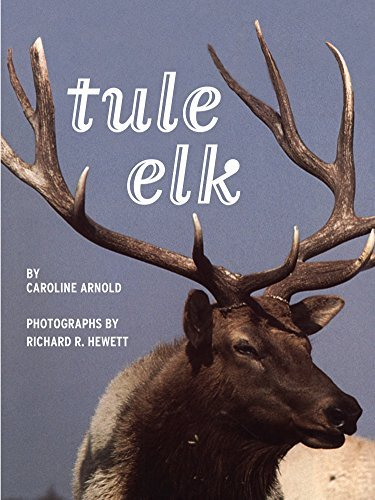 Tule Elk Caroline Arnold