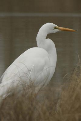 White Great Egret (Birds of the World): Blank 150 Page Lined Journal for Your Thoughts, Ideas, and Inspiration  by  Unique Journal