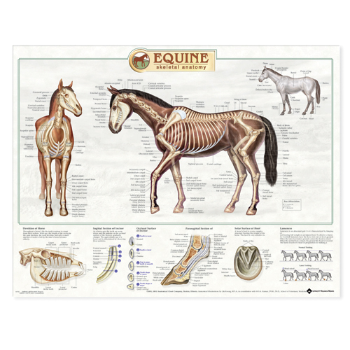 Equine Skeletal System Anatomical Chart Anatomical Chart Company