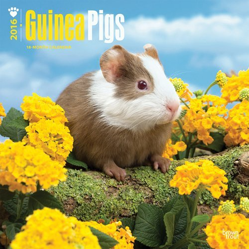 Guinea Pigs 2016 Square 12x12  by  Browntrout Publishers