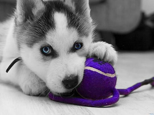 photo Adorable-Siberian-Husky-puppies_zpskjwyejgj.jpg