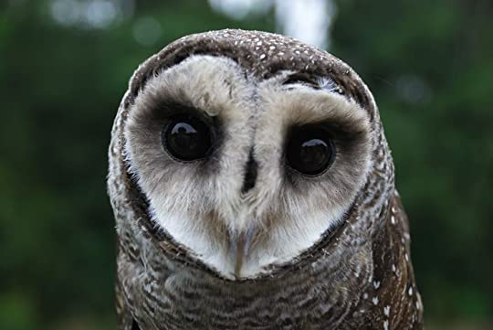 Greater Sooty Owl:
