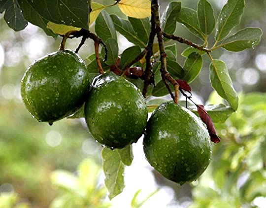 avocado tree: