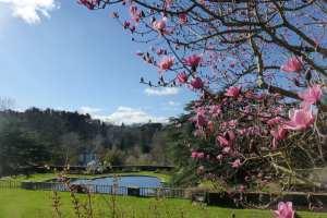 Bodnant Magnolia